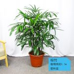 棕竹約1.1m