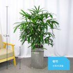 棕竹約1.3m