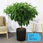 平安樹【黑陶瓷盆】1.1m