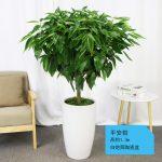 平安樹【白陶瓷盆】1.3m