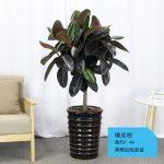 橡皮樹【黑螺紋陶瓷盆】
