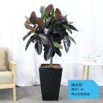 橡皮樹【黑方形陶瓷盆】