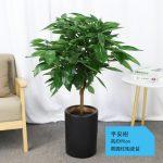 平安樹【黑陶瓷盆】90cm