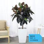 橡皮樹【白方形陶瓷盆】