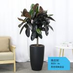 橡皮樹【黑陶瓷盆】