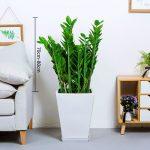 金錢樹【白方形陶瓷盆】