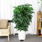 幸福樹 白陶瓷盆1.4m